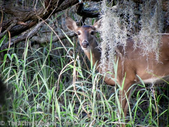 Deer peaking from behind moss.