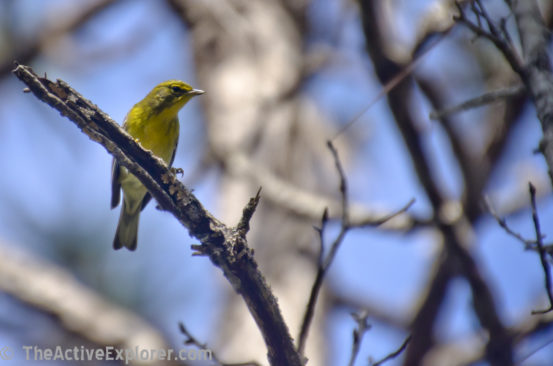 Wakiwa Wood Warbler