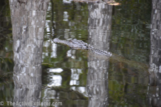 Swimming gator