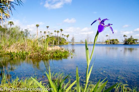 Orlando wetlands iris.