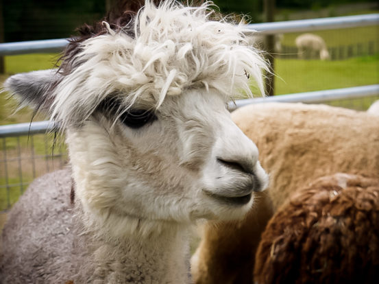 Alpacas aren't just adorable, their fur makes durable products too.