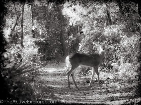 Deer in Wekiwa State Park