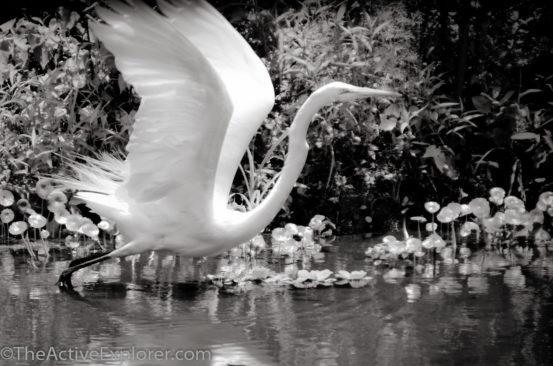 Egret taking flight.