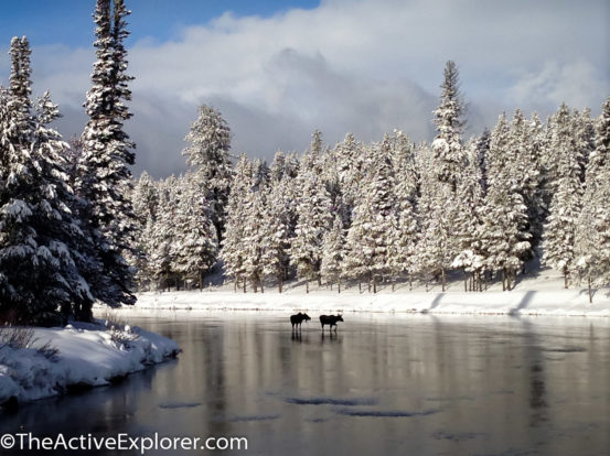 Moose in the North Fork River