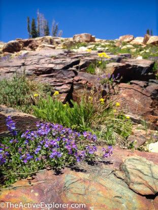 Wildflowers near Cecret Lake