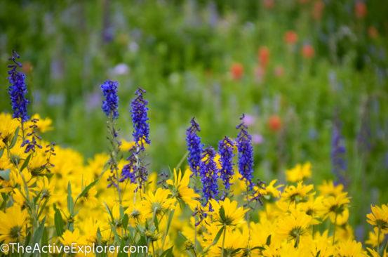 Wildflowers at Alta Ski Area 3