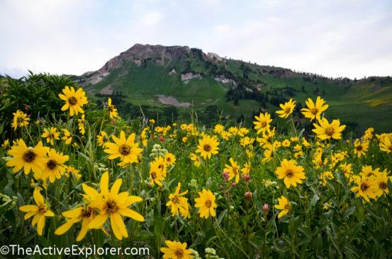 Wildflowers at Alta Ski Area 5