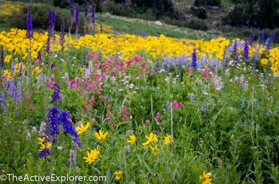 Wildflowers at Alta Ski Area 6